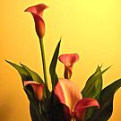 Calla Lily by Shulie1