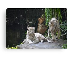 two White Tigers Canvas Print