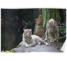 two White Tigers Poster