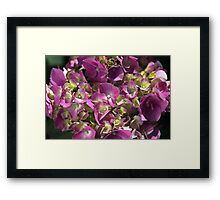 Hydrangea Summer Bloom Framed Print