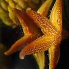 StarFish Reflection by AnnDixon