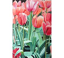 Red tulips sketch Photographic Print