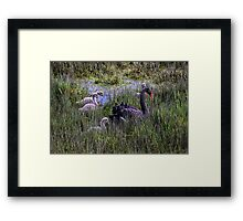 Swan & Cygnets of West Tamar Framed Print