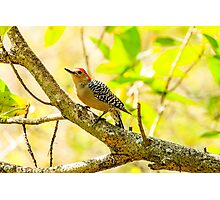 Red Bellied Woodpecker Photographic Print