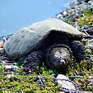 Snapping Turtle by Carla Jensen