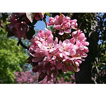 Cherry Tree Blossoms. Photographic Print