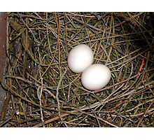 Pigeon eggs. Photographic Print