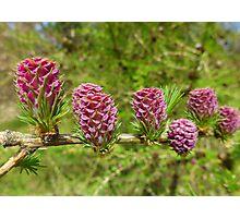 Spring pine cones Photographic Print