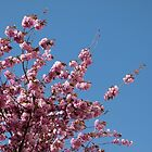 Cherry Blossoms #1 by Benedikt Amrhein
