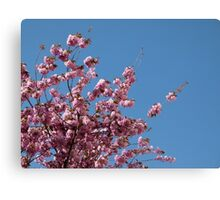 Cherry Blossoms #1 Canvas Print