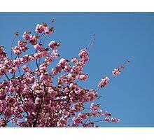 Cherry Blossoms #1 Photographic Print