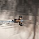 Pied-billed grebe 2016-2 by Thomas Young