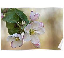 Apple Blossom White Poster