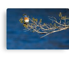 Eastern Bluebird on a Budding Branch Canvas Print