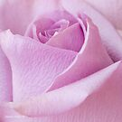 Delicate Lavender Rose Macro by Sandra Foster