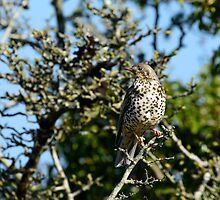 Thrush in a hawthorn bush, County Kilkenny, Ireland by Andrew Jones