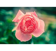 Pink English rose as seen from above with a lush green background  Photographic Print