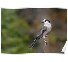 Gray Jay in Algonquin Park Poster