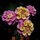 Pink and Yellow Blooms by Colin Metcalf