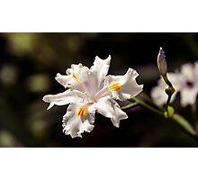 White Iris 2 Photographic Print