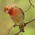 The Inquisitive House Finch by lorilee