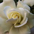 New White Rose Leith Park Victoria 20151228 6519   by Fred Mitchell