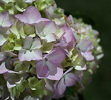 Soft Hydrangea by Joy Watson