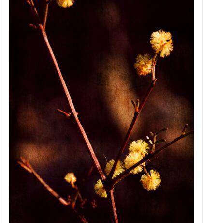 Wattle Flowers  Sticker