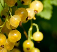 The white currant, sometimes called the pink or yellow   Sticker