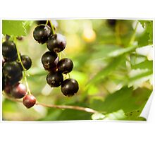 blackcurrant in the garden   Poster