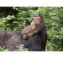 Moose close-up - Algonquin Park Photographic Print