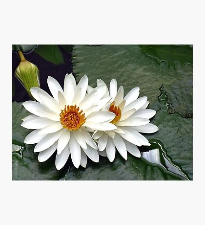 Giant water lily Photographic Print