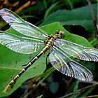 Phyllogomphoides stigmatus -  (Four-striped Leaftail) by Bill Morgenstern