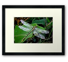 Phyllogomphoides stigmatus -  (Four-striped Leaftail) Framed Print