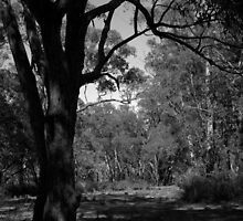 Scary Tree- Third Falls Track, Morialta by Ben Loveday