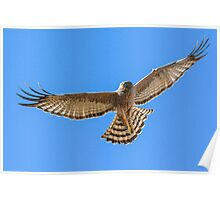 Spotted Harrier, full spread. Poster