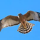 Spotted Harrier, upstroke. by James Peake Nature Photography.