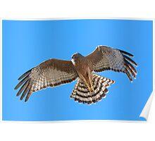 Spotted Harrier, upstroke. Poster
