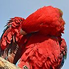 Red Macaw by Farrah Weston