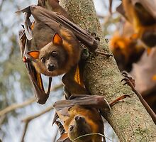 Little Red Flying Foxes 1 by Carolyn Boyden