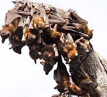 Little Red Flying Foxes 2 by Carolyn Boyden