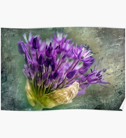 Allium Blossoms Poster