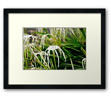 White Spider Lily Flowers Framed Print
