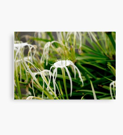 White Spider Lily Flowers Canvas Print