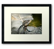 Australian Eastern Water Dragon Lizard Framed Print