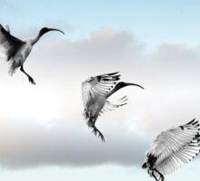 make way! (ibis landing sequence) Sticker