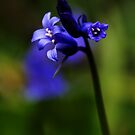 Bluebell by Country  Pursuits