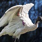 australian white ibis (detail) by carol brandt