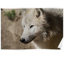 From the North - Arctic Wolf Poster