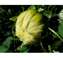 Dahlia about to unfold Photographic Print